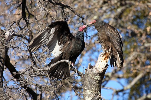 1vultures dave harper oakley | by Contra Costa Times