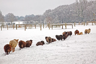 Sheep in the Snow at Sauncey Wood | by Roantrum