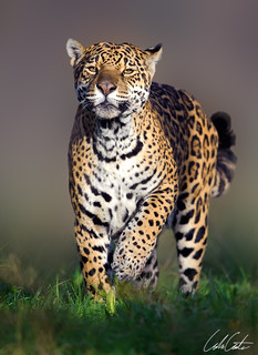 Spirit of the Jaguar | by TheApertureMan