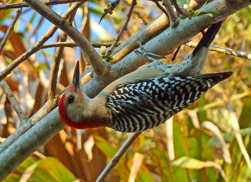 Red bellied woodpecker just hanging around - GreenCay | by Terri Lynn Smith