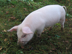 pig outside | by wattpublishing