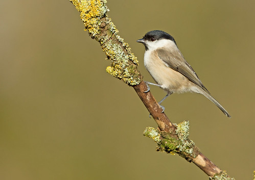 Marsh Tit | by David Newby Images