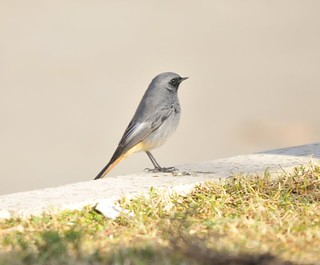 Black Redstart | by markhows
