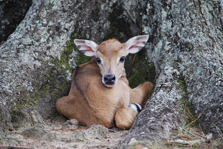 Baby African Kudu | by global_wildlife