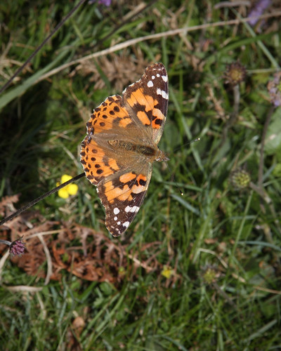 Distelvlinder - Painted Lady- Vanessa cardui | by mojacobs