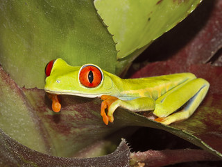 Red-eyed Treefrog, Agalychnis callidryas | by Bill Bouton