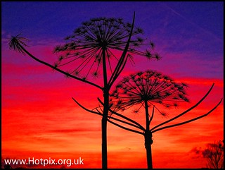 iPod Shuffle2 - Waterloo Sunset [ Giant Cow Parsley ] | by @HotpixUK -Add Me On Ipernity 500px