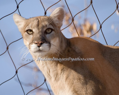 puma | by Maia Cavelli at IBIDEM IMAGES