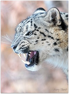 Snow Leopard Snarl | by metherit