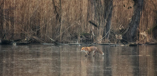 fuchs auf eis / fox on ice | by Naturfotografie - Stefan Betz