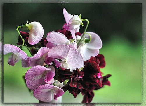 Sweet Peas | by naturetrails