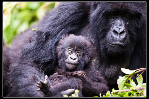 Mother and Child Gorillas | by GlobalGoebel