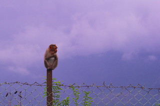 Monkey on Fence | by Kumaravel
