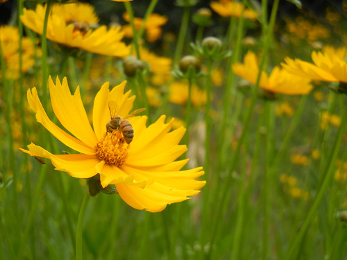 Bee on Coreopsis lanceolata | by Stilgherrian