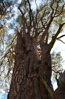201111-old-scots-pine-2 | by treeblog