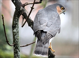 Sparrowhawk male | by Judy's Wildlife Garden