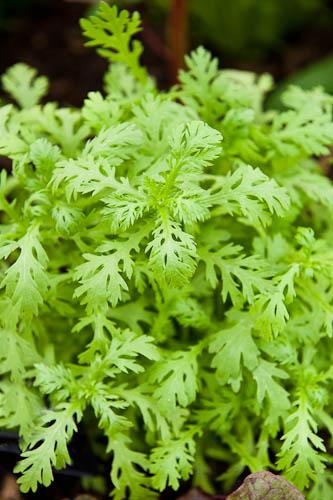 090707_047_Chop suey greens.jpg