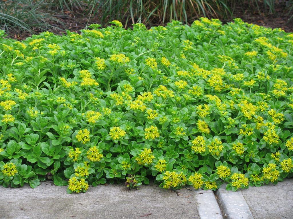 Sedum Kamtschaticum Var Ellecombianum Yellow Stonecrop Flickr