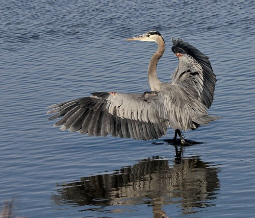 3399 Great Blue Heron | by shill718
