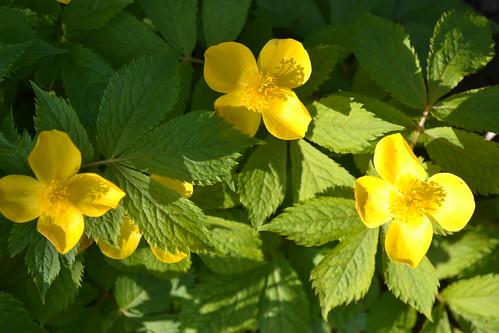 HYLOMECON japonica