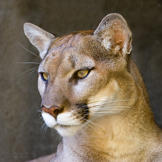 Puma/Cougar (Olympia) Portrait in Half Profile at the Memphis Zoo in Tennessee | by D200-PAUL