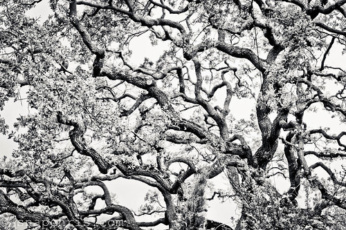 gnarly California oak tree in Black and white | by tibchris