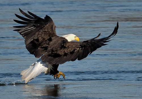 "As the Bald Eagles Depart for the season....Explored 12/28 | by Christine Fusco ~ ""Jersey Strong"""