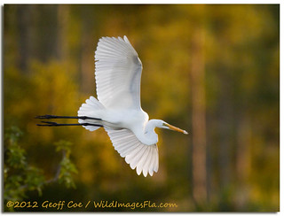 Great Egret, Webb Lake | by Geoff Coe