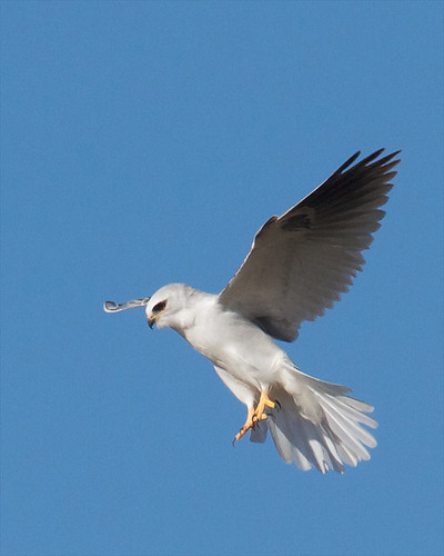 White-tailed Kite | by Tom Clifton