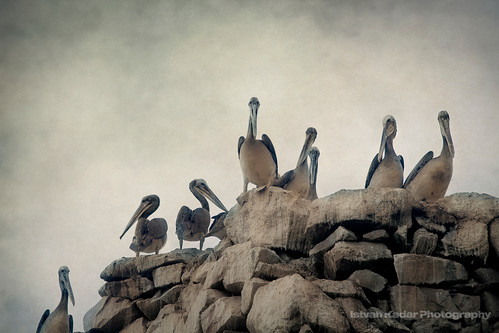 Peruvian Pelicans | by fesign