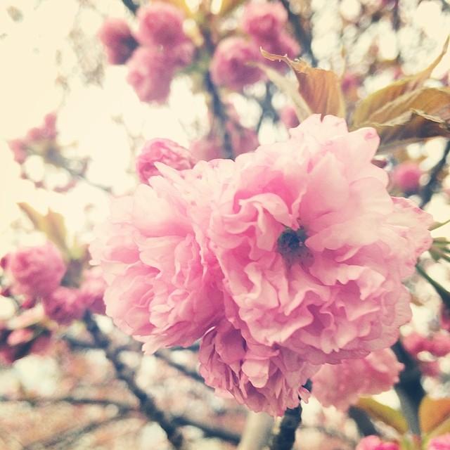 Pretty in pink spring2014 buckscountypa flowers mother flickr pretty in pink spring2014 buckscountypa flowers mothernatureisbadass cellphone instagram by mightylinksfo