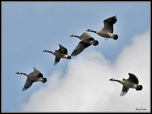 Canada Geese March 2012 | by GaryT48