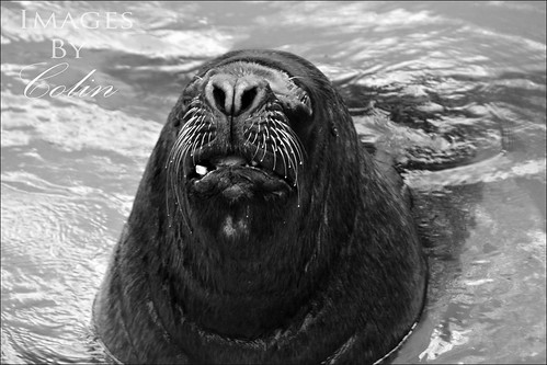 Sea Lion | by colsmith27