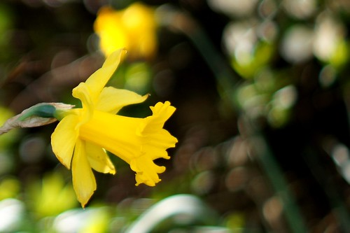 Spring Daffodil | by Jamo Spingal : Thanks for 1M Views