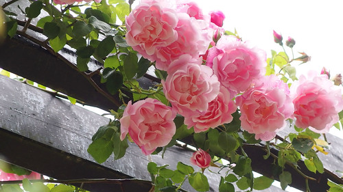 Rose, バラ,