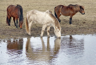Icelandic horses - IMG_0873a | by Alfs photodiary