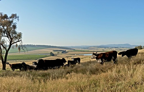 cattle on the hill | by rob's lensonlife