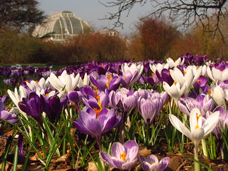 Dutch Crocuses | by Laura Nolte