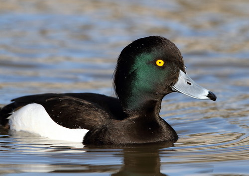 Tufted Duck | by pixelbob