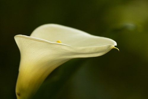 Cala Lily in soft light | by pavonne