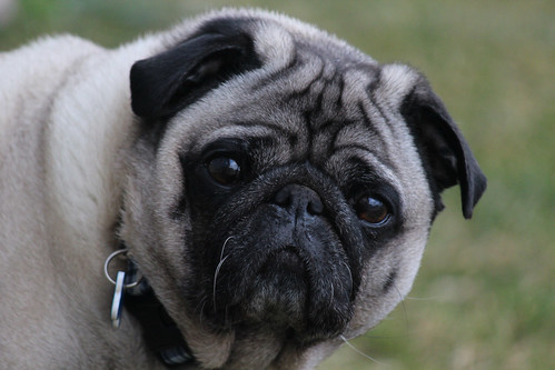 3/12/12 - There's Something About a Pug | by J. Pearson Photos