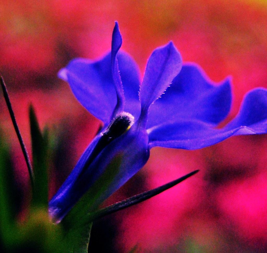 Lobelia Or Blue Cardinal Flower Shari Kadirur Flickr