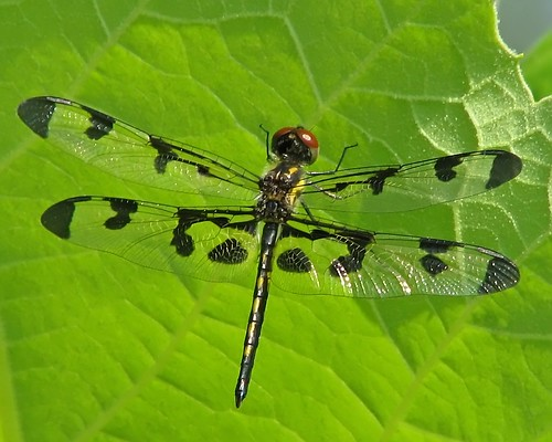 Immature male Banded Pennant, Celithemis fasciata | by Vicki's Nature