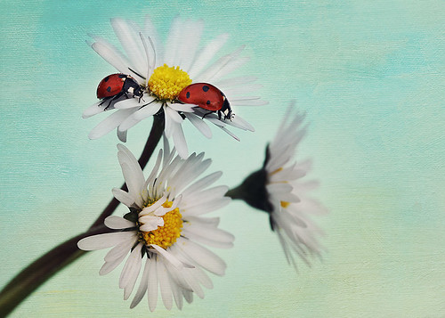 Ladybirds on daisy | by Ellenvd