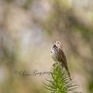 Joyous Melody of the Song Sparrow | by *GloriousNature*bySusanGaryPhotography