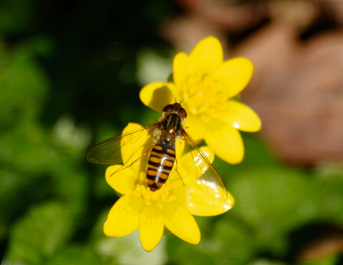 Hover on Celandine | by riggy-riggo