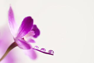 orchid and drops | by ~Mirka Wolfova~