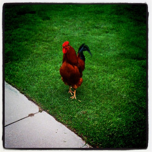 Country Club Rooster | by laurajjacobs