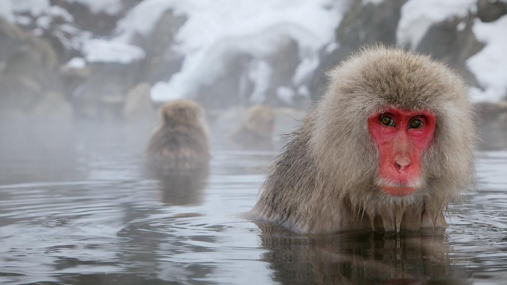 Snow Monkey 02