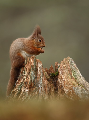 Red Squirrel | by naturenev